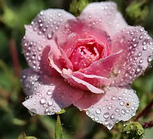 Dewy Pink Rose by Keala