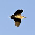 Black-crowned night heron ( Nycticorax nycticorax )  Ślepowron zwyczajny by MarekM