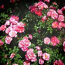 Pink Roses by Shulie1