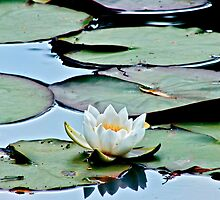 Water Lily (2) by Hayley Musson