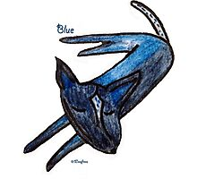 Blue (an Australian Blue Heeler) Photographic Print