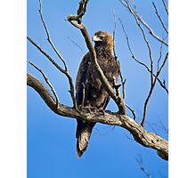 RAPTOR ~ Wedge-tailed Eagle by David Irwin Photographic Print