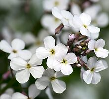 White Wildflowers Dames Rocket  by Christina Rollo