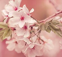 Apple Tree Blossoms by alyphoto