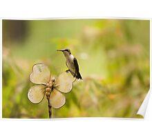 Resting Humming Bird Poster