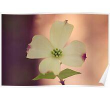 Single Dogwood Flower Poster