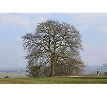 English Oak Photographic Print