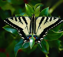 Swallowtail Butterfly by kimberpix
