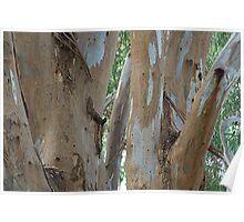 Gumtree limbs Poster