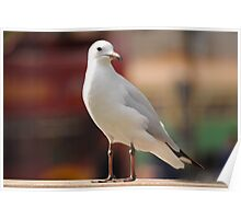 Seagull Concentrating Poster