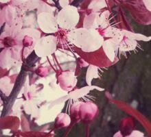 soft cherry blossoms Sticker