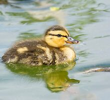 Mallard Duckling by M.S. Photography/Art