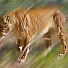 Lioness on a prowl by miroslava
