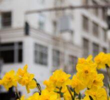 Portland Daffodils Sticker