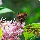 Pretty Butterfly by Carolyn Clark