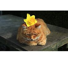 Ginger cat playing with daffodil Photographic Print