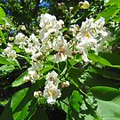 Catalpa Flowers by Shulie1