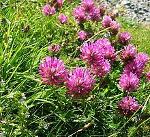 Clover (1) - Trifolium pratense  by lezvee