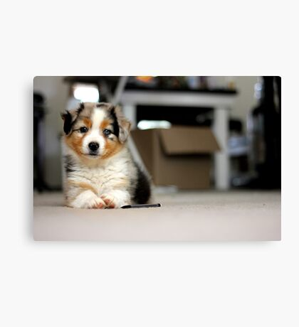 Australian Shepherd Puppy - Sam Canvas Print