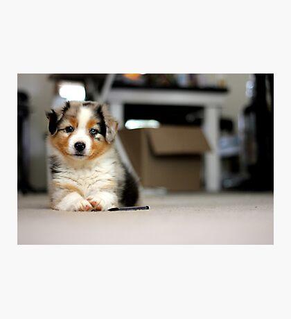Australian Shepherd Puppy - Sam Photographic Print