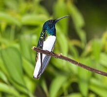 Male White-Necked Jacobin Hummingbird by hummingbirds