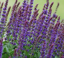 Lavender and greenery by kimberpix