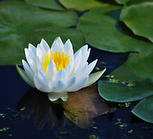 White Water Lily by Poete100