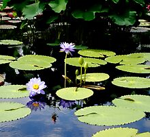 Purple Water Lilies by Analissa Winchester