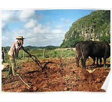 Tobacco Farmer with Ox Vinales Cuba Poster