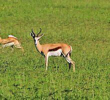 Springbok - African Wildlife Background - Running Wild by LivingWild