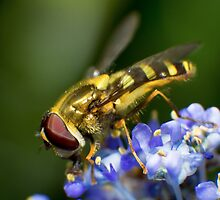Hoverfly by RandyHume