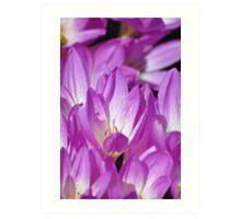 Purple Spring Crocus Blooms Art Print