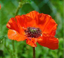 Orange Poppy Bloom, greenery by kimberpix