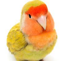colored tropical agaporni by arnau2098