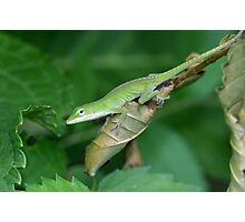 The Green Anole Photographic Print