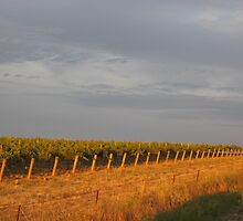 The golden sunrise upon the grapevines by Lillydale1
