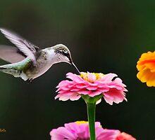 Few and Far Between Hummingbird by Christina Rollo