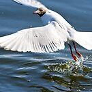 """""""Start"""" ,  Black-headed gull  ( Chroicocephalus ridibundus )  Mewa śmieszka by MarekM"""
