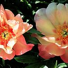 Peonies - 'Magical Mystery Tour' by T.J. Martin