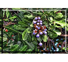 Faux Blueberries Photographic Print