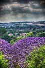 Lavender Fields by Nigel Bangert