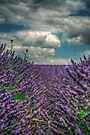 Lavender Bushes by Nigel Bangert