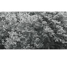 high wind in lime trees Photographic Print
