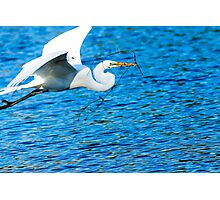Great Egret Flying  Photographic Print