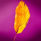 Purple in Autumn Leaf by heidiannemorris
