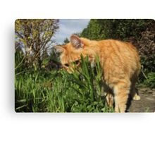 Ginger cat hunting in garden Canvas Print