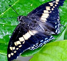 Checkered Lime Swallowtail Butterfly by Amy McDaniel