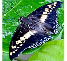 Checkered Lime Swallowtail Butterfly Photographic Print