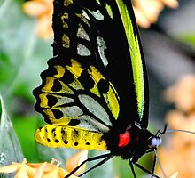 Great Mormon Butterfly by Amy McDaniel