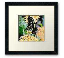 Great Mormon Butterfly Framed Print